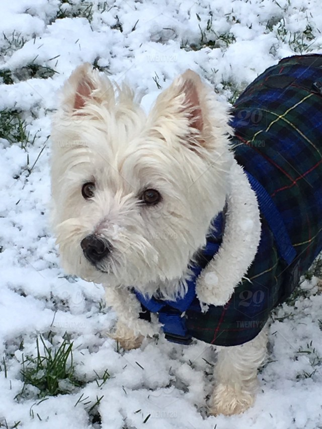 Let It Snow Snowy Winter Season Cute Small White Dog