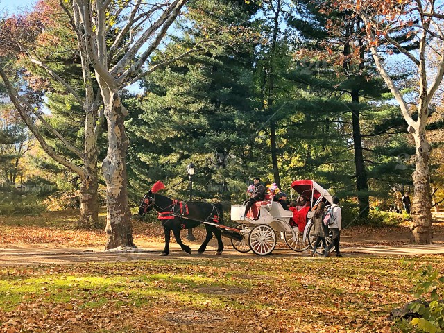 The Carriage Ride - A romantic afternoon carriage ride through Central Park!  Central Park, carriage ride, horse, leisure activity, romance, romantic,  autumn, park, tourist attraction, people, stroll, recreational activity,  carriage, fall season,