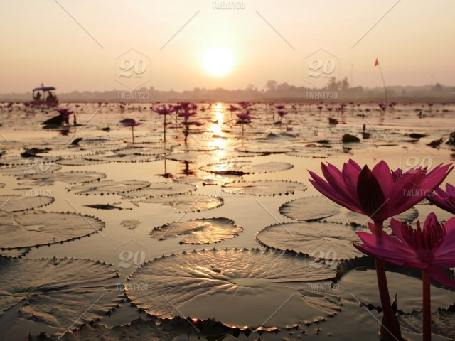 Red lotus sea@thailand with sunraise  stock photo 1d6b0c14