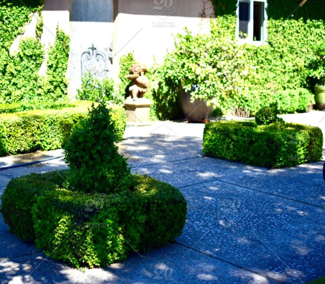 Nicely Manicured Boxwood Topiary Shrubs Backyard Patio