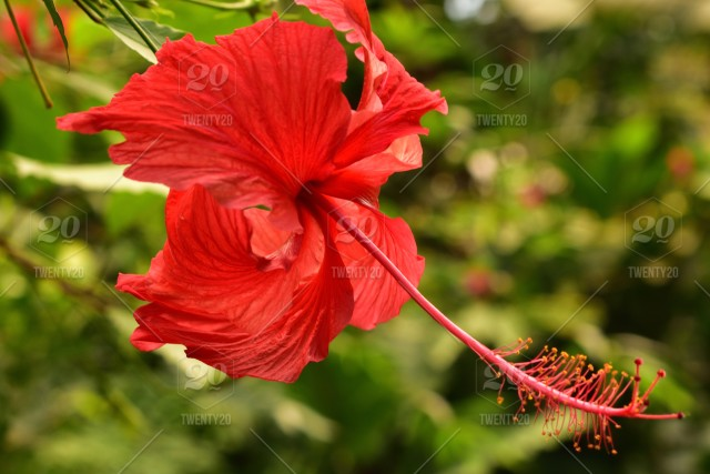 Tropical Asian Chinese Hibiscus Flower Close Up With Prominent