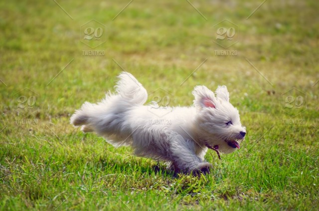 🍀nominated🍀 Beautiful cute little westie running happily and