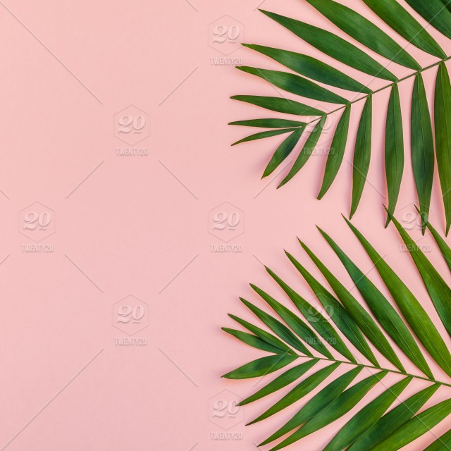 Creative Flat Lay Top View Of Green Tropical Palm Leaves Millennial Pink Paper Background With Pineapples Copy Space Minimal Tropical Palm Leaf Plants Summer Concept Template For Your Text Or Design Stock Big foliage will add dramatic flair while smaller, more dracaena marginata is notable for its long, narrow leaves and slender, woody stems. creative flat lay top view of green
