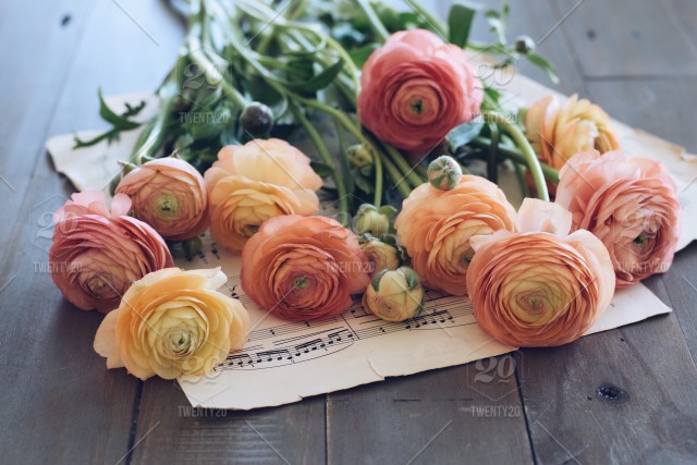 Ranunculus Flowers Laying On A Sheet Music Nominated Stock