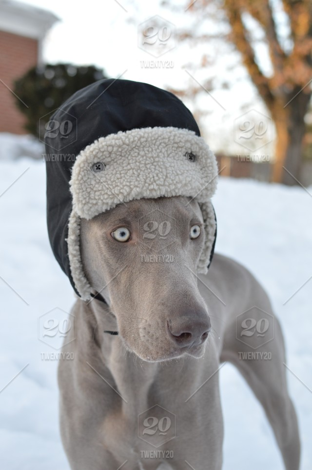 Funny close-up of a weimaraner dog's face wearing a winter hat in