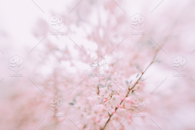Blooming Sakura Cherry Tree Pink Flowers Blooming Flowers Spring Spring Time Floral Background Floral Texture Floral Pattern Stock Photo 5b0fb737 16ac 4b8c A6dc D69fc2dd22dc