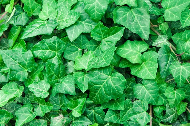 Green Ivy Leaves Texture Plant No People Summer