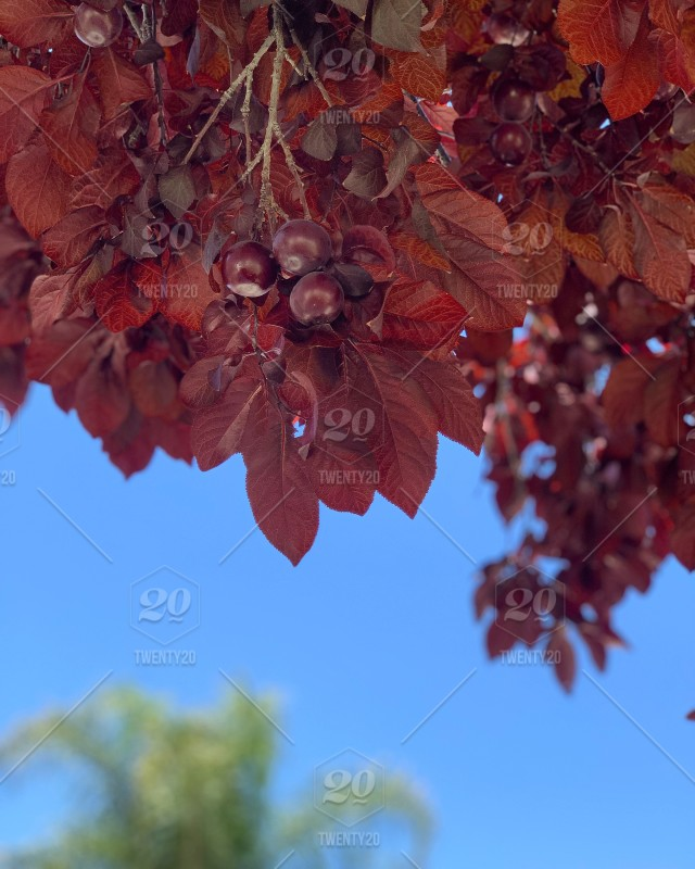 Branches Of The Ornamental Plum Tree With Fruit And Red Leaves