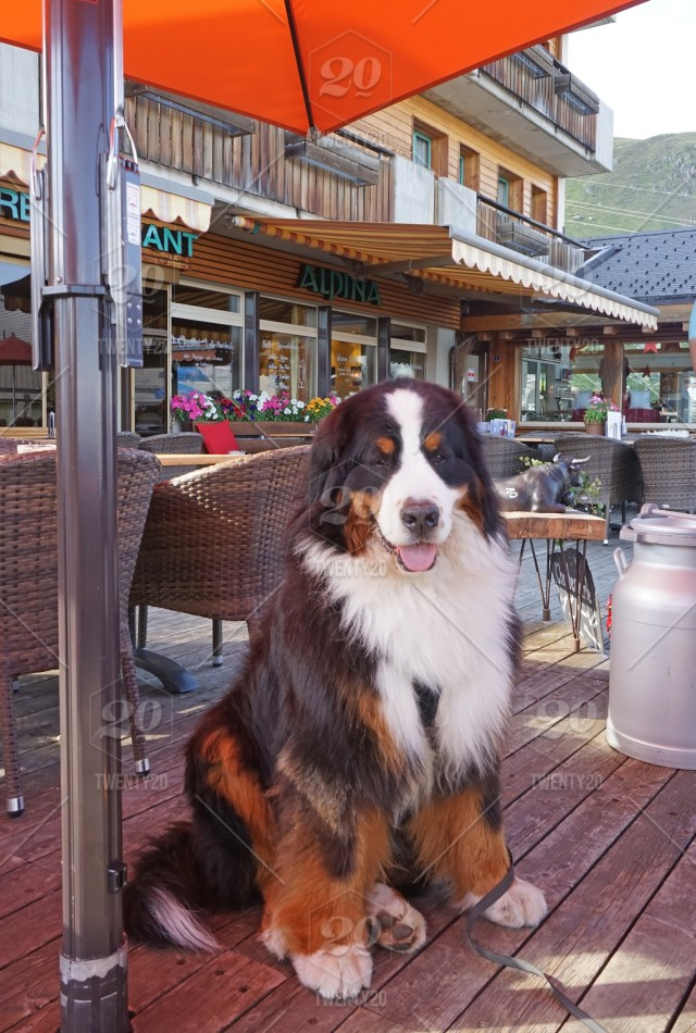 Large Fluffy Bernese Mountain Dog Sitting In The Outdoor