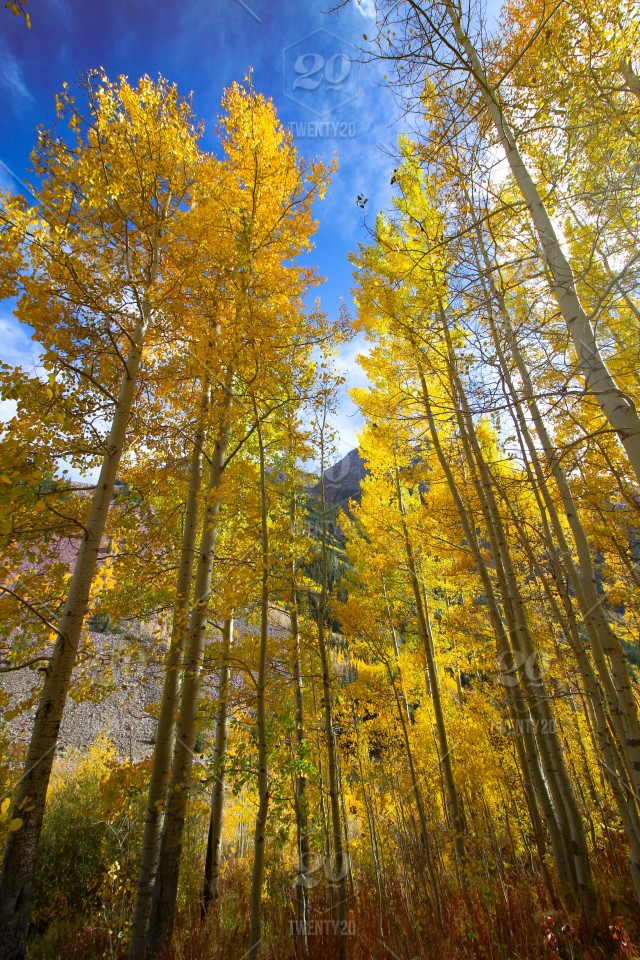 Quaking aspen trees in Maroon Bells, Colorado stock photo