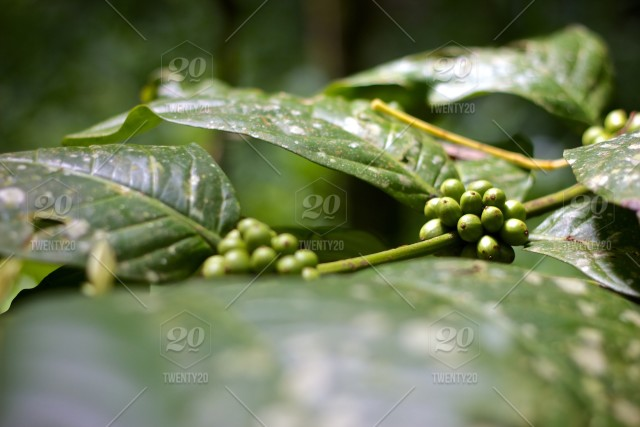 Coffee Tree With The Beans Stock Photo 5ee785dd Ac41 4758