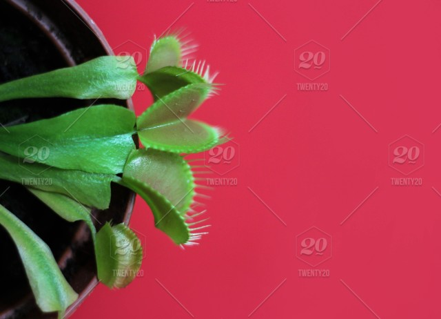 Venus fly catcher, fly trap