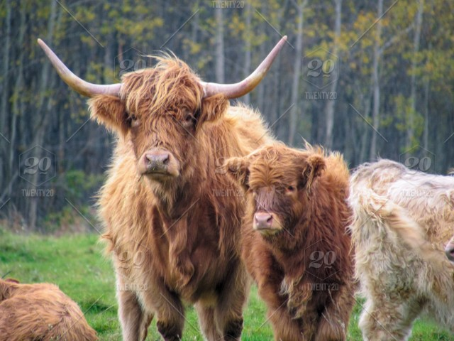 Adult Scottish Highland Cow with its offspring attached to ...