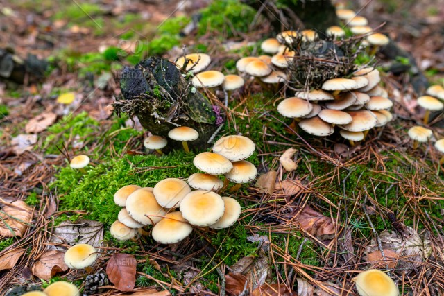 Yellow Mushrooms Growing On Tree Trunk And Forest Mulch In Autumn