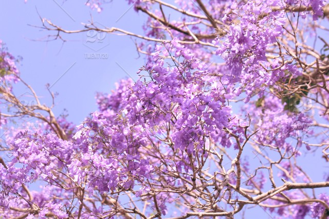 Purple And Lilac Flowers During The Spring Time Bloom Of The