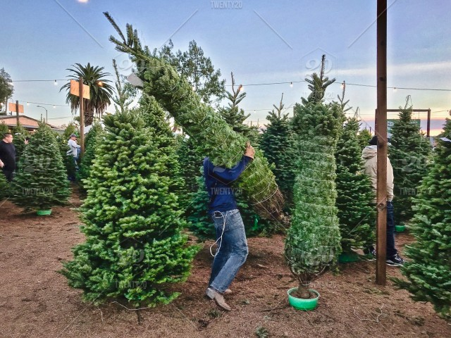 A man is putting a freshly cut Christmas tree on the stand at the ...
