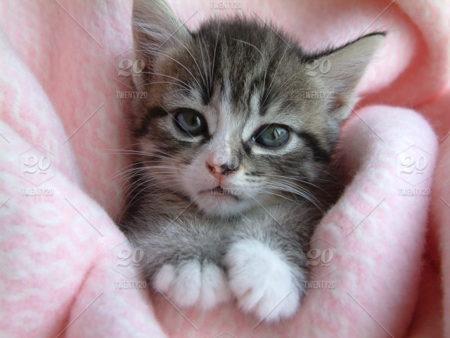 Adorable Tabby Kitten With Blue Eyes On A Pink Blanket Stock Photo Dcf99b41 F693 4276 B8fb F33e803bf638