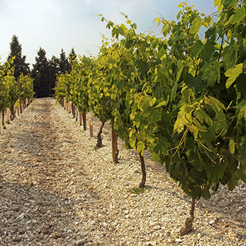 Allegrini's Valpolicella vineyard where Amarone grapes are grown