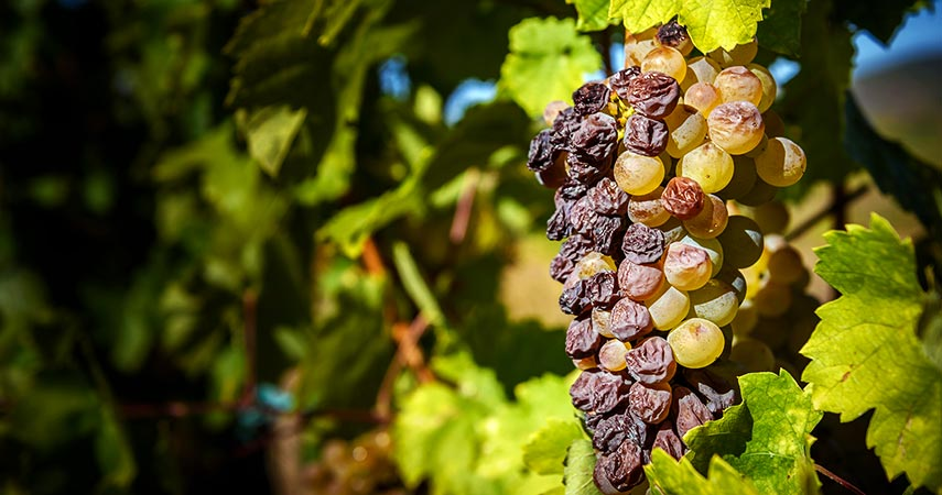 Botrytised furmint aszú grapes in Hungary: like Riesling, furmint has the ability to go from bone-dry to intensely sweet