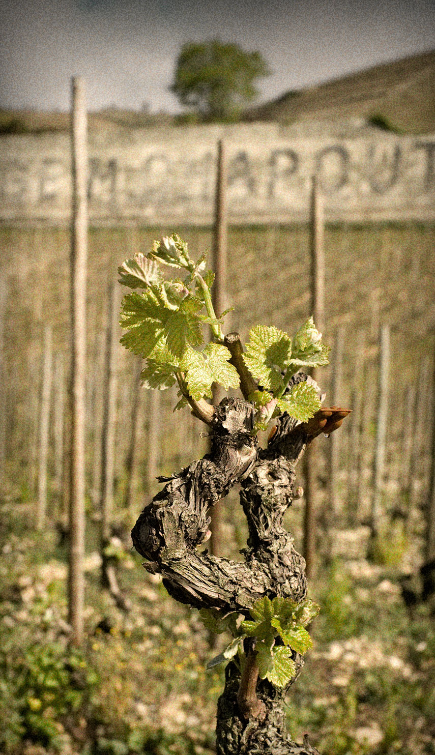 Chapoutier vine springing into life