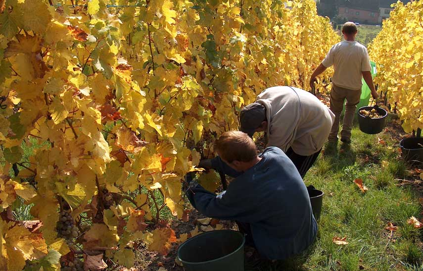 >Harvesting grapes on the steep Schoenenbourg vineyard for the Famille Hugel