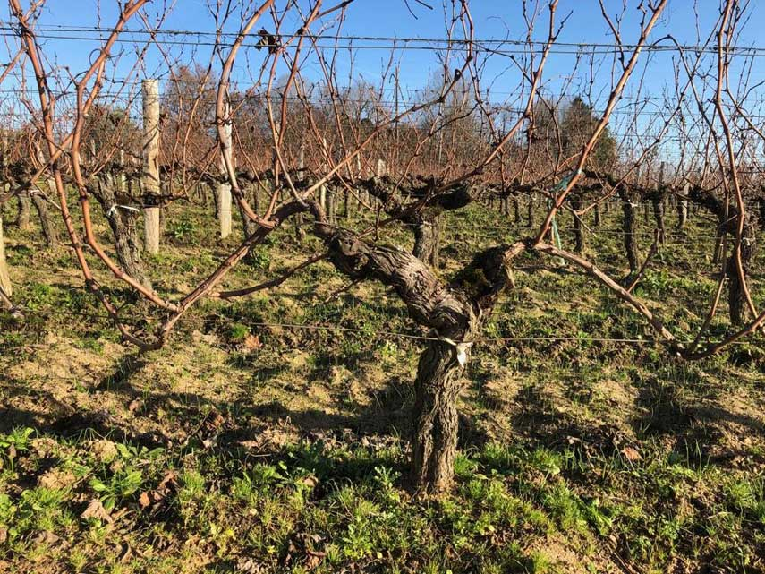 100-year-old vines at Haut-Bailly