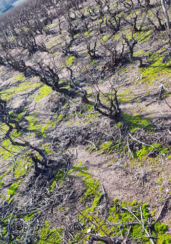Vines soaking up the sun in Beaujolais