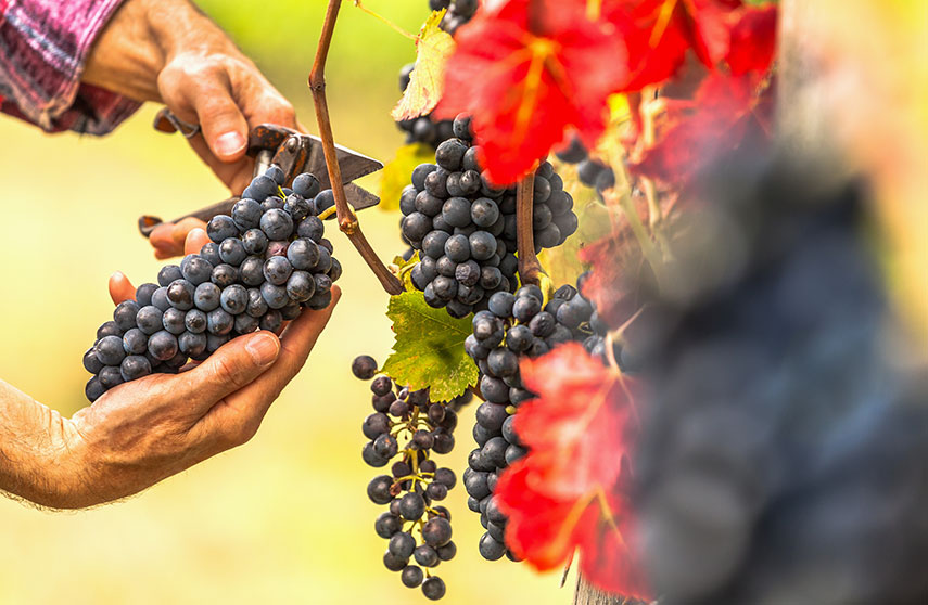 The canaiolo grape was traditionally used in the blending of Chianti Classico wines