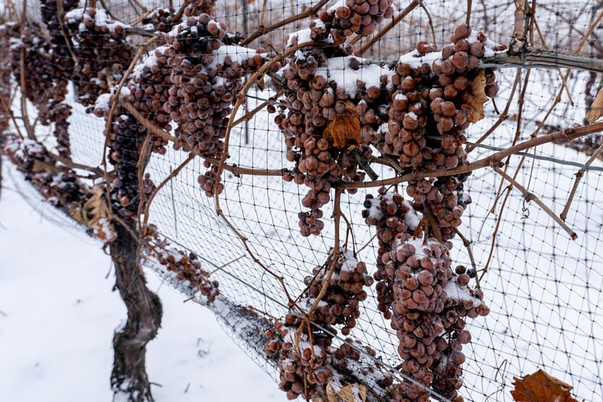 Picking frozen grapes for icewine is both painful and painstaking – no wonder most of it is done by machine!