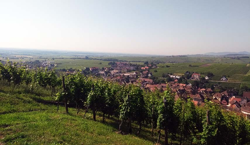 Vines with a view: steep vineyards around Ribeauvillé