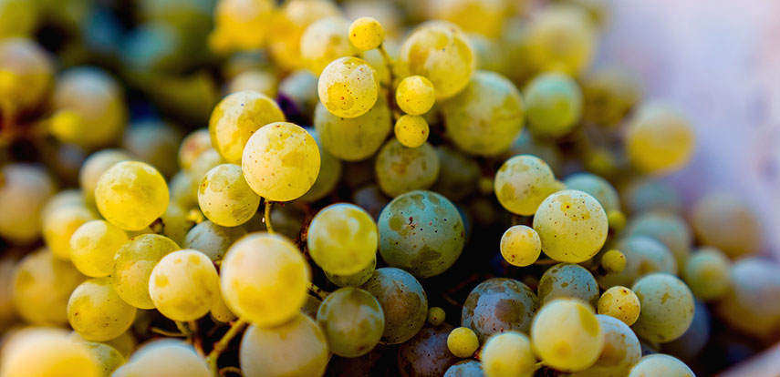 Grape variety: glera (previously known as prosecco) must make up 85% of the Prosecco blend