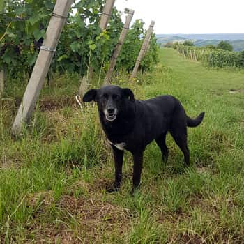 Fetita the vineyard dog