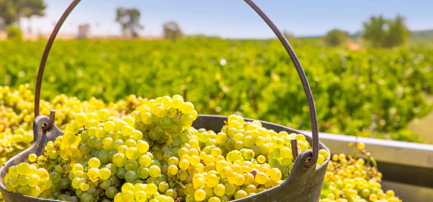 Harvested chardonnay grapes