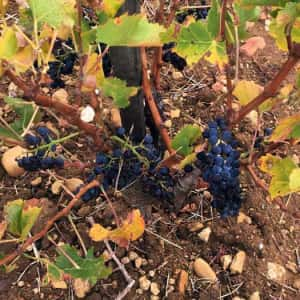 Tiny crop in 2017, but what fruit did survive the drought has made delicious wines with the colour and sweetness that only comes from sun-drenched grapes