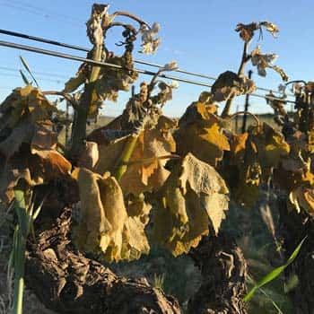 Frost damage in the Roussillon in April 2017