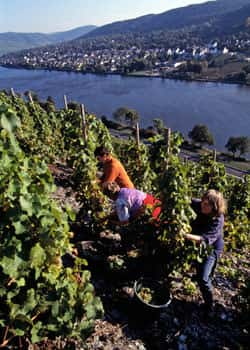 On the steep slopes of the Mosel it is only possible to pick by hand