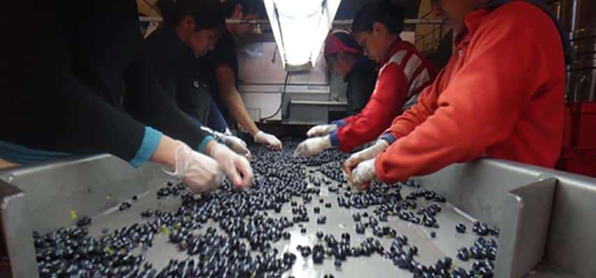 The sorting table at Mendel, Argentina