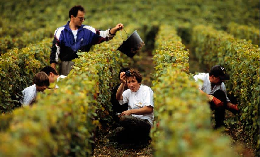 Harvesting in Burgundy