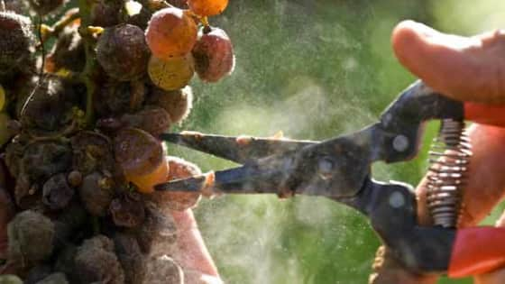 Winemaking: Jekyll and Hyde - The Fungal Story
