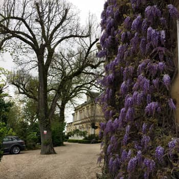 Wonderful wisteria at Saint-Emilon's Château Ausone