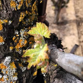 Budburst on an old zinfandel vine in Lodi (Delicato – Gnarley Head/Brazin)