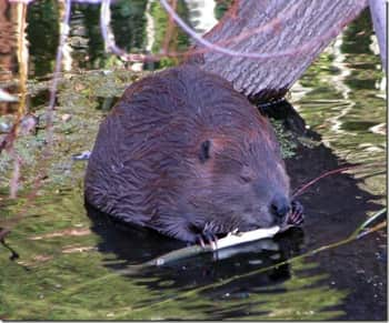 Beavers – nature's master engineers might offer some solutions for containing precious water supplies, but their presence isn't always welcomed by farmers