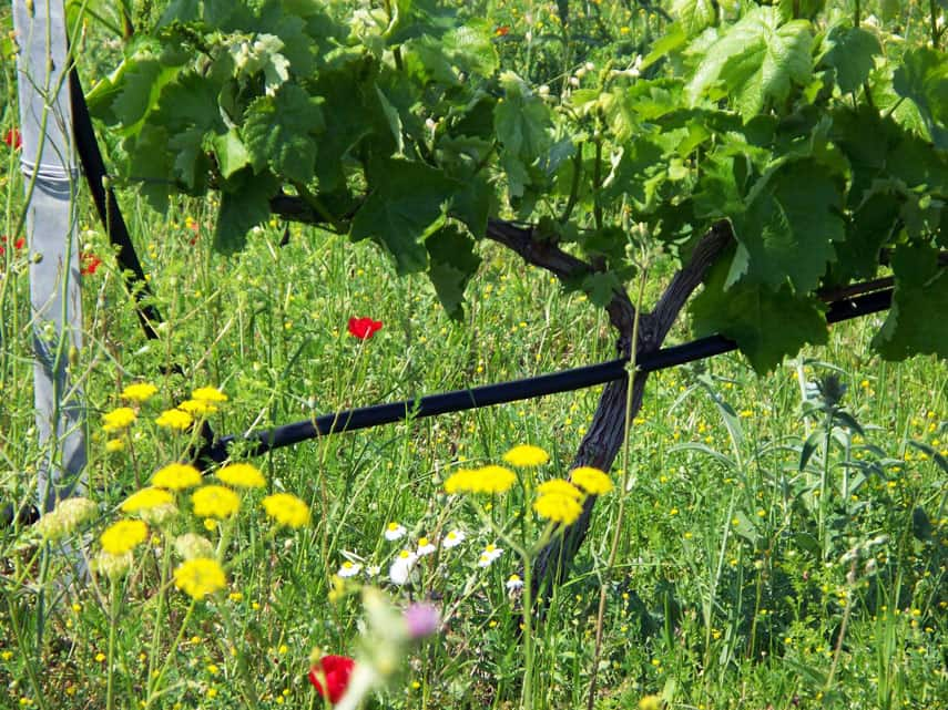 'Nature respects you if you respect nature'. Verdant vineyards in Naoussa.