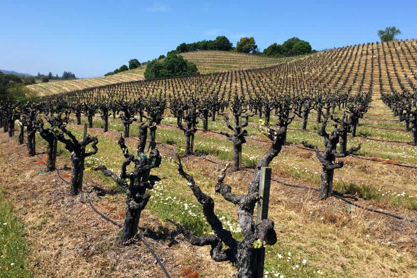 Old Zinfandel Vines in Sanoma