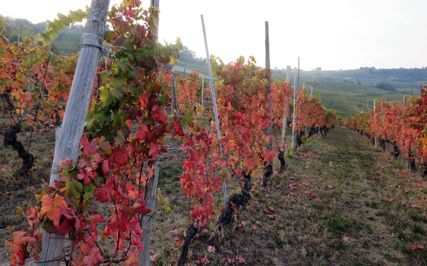 Dolcetto viness glow red and maroon, distinct from the yellow nebbiolo
