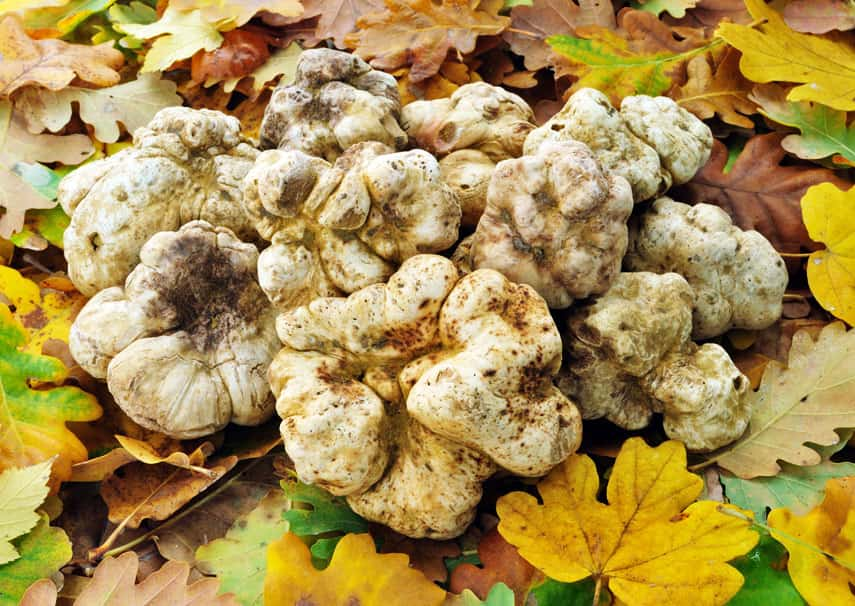 White truffles or tartufo bianco to give it its Italian name, are mostly found in the woods and fields of the Piedmont region.