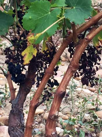 Mildew-affected vines in Châteauneuf-du-Pape