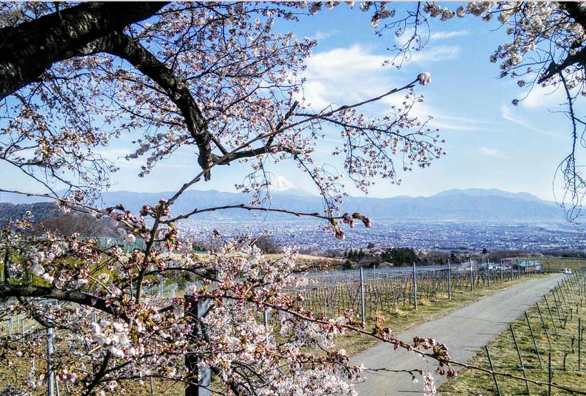 Blossom, vines, Mount Fuji...could there be a more perfect view?