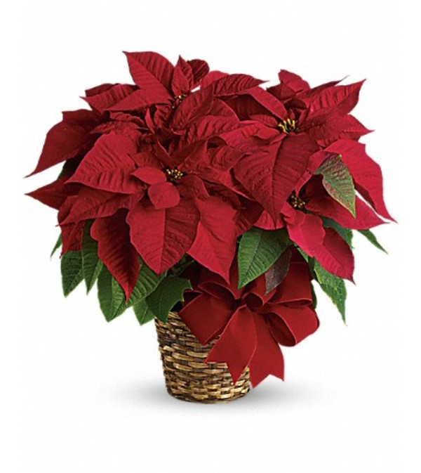 FESTIVE RED POINSETTIA