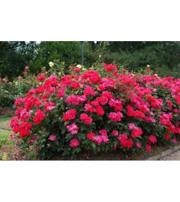 Knock Out Rose Bush